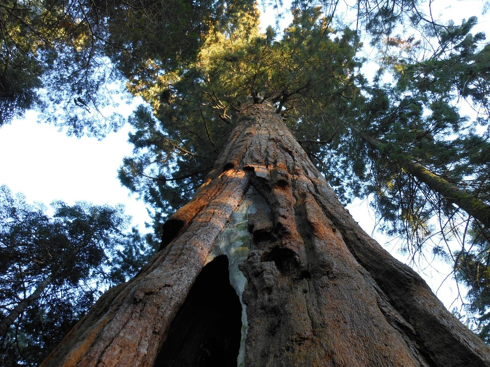 Mammut_tree.jpg