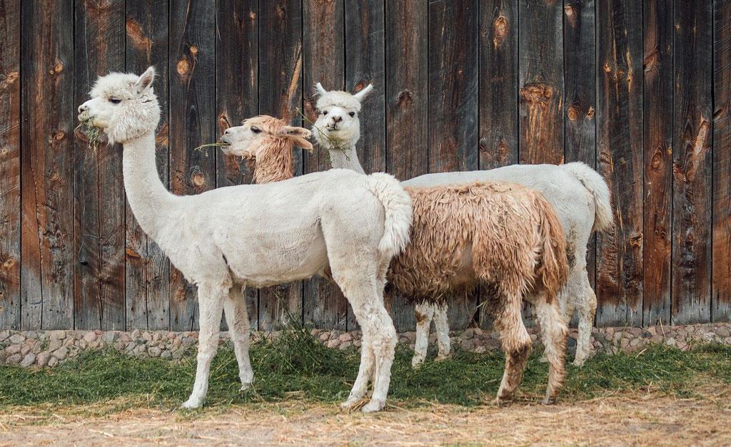 alpacas-blog